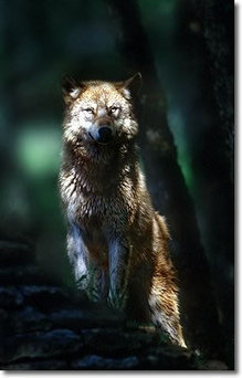 « Le paradoxe de la modernité, c'est le retour du sauvage » - Sur la piste du loup | ¨¨Qui est le plus sauvage?¨¨ | Scoop.it