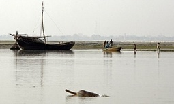 India conducts first official survey of Ganges dolphins | Farming, Forests, Water & Fishing (No Petroleum Added) | Scoop.it