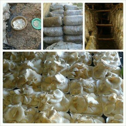 Zimbabwe: Successful Mushroom Farming | Mushroom cultivation in The Third World | Scoop.it