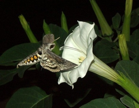 Comment des papillons utilisent l'odeur des plantes pour choisir le meilleur site de pondaison | EntomoNews | Scoop.it