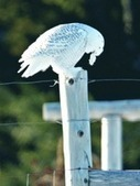 Snowy owls' arrival prompts uproar over luring birds for photographs | #WildlifeWatch | Scoop.it