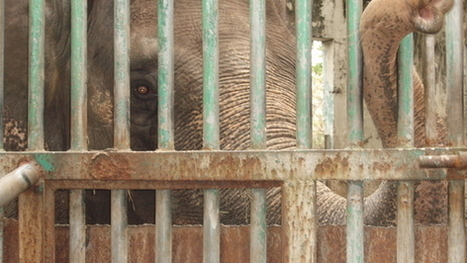 Give The World's Loneliest Elephant A Better Home | Animals R Us | Scoop.it