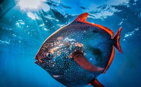 Este es el Opah, el primer pez con sangre caliente del mundo | Agua | Scoop.it