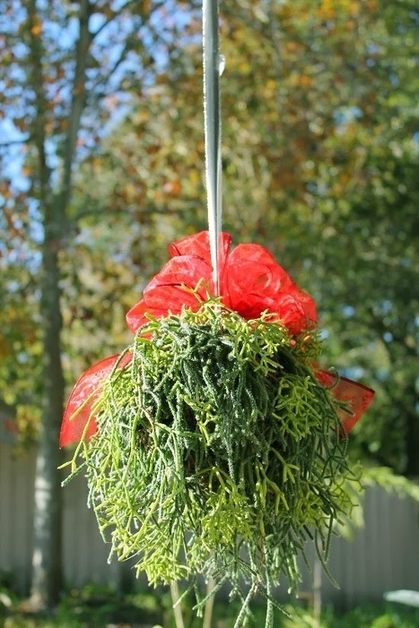 The Rainforest Garden: Make a Living Mistletoe Kissing Ball! | Natural Soil Nutrients | Scoop.it