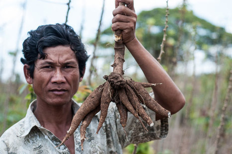 Climate-triggered pest and disease invaders threaten US$5 billion cassava industry in Asia   CIAT Blog   Earth Citizens Perspective   Scoop.it