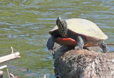 Threatened turtles Ridley Park's costly 'hidden jewel' - Philly.com | Turtles | Scoop.it