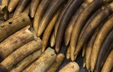 Interpol cracks down on organised crime networks trafficking ivory and rhino horn | Wildlife Trafficking: Who Does it? Allows it? | Scoop.it