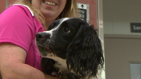 English springer spaniel hired to sniff out Vancouver hospital superbugs | Caring About Pets | Scoop.it