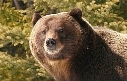 Grizzly bears expected out of dens soon | Exploring the Rocky Mountians | Scoop.it