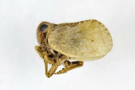 Un insecte découvert pour la première fois en France à Dijon | EntomoNews | Scoop.it