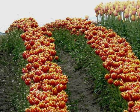 Tulips: Not Only from Amsterdam | trackingnews | Scoop.it