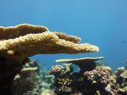 A glimmer of hope for corals as baby reef builders cope with acidifying oceans | Sustain Our Earth | Scoop.it