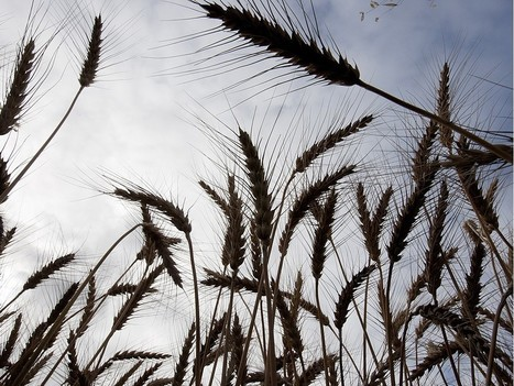 Saskatoon to host International Wheat Congress in 2019 | WHEAT | Scoop.it