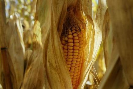 Riz, blé, maïs: les Etats-Unis attaquent la Chine à l'OMC | Identités de l'Empire du Milieu | Veille géographique | Scoop.it