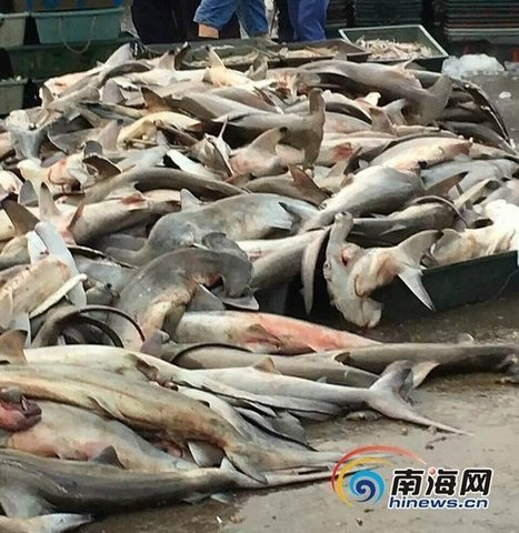 Endangered sharks sold at China fish market causes anger | All about water, the oceans, environmental issues | Scoop.it