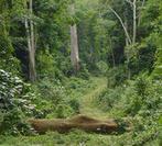 Pistes forestières : elles perturbent la forêt, mais favorisent la régénération des arbres exploités - CIRAD | AGRONOMIE VEGETAL | Scoop.it