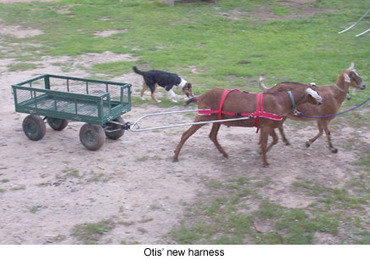 Working Goats - HARNESS TRAINING | BOB to BOL by BOV | Scoop.it