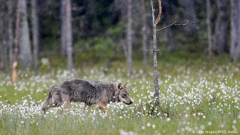 Finland opens controversial wolf cull | News | DW.COM | 23.01.2016 | Farming, Forests, Water & Fishing (No Petroleum Added) | Scoop.it
