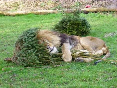 Video from Linton Zoo shows the fur-friendly way of getting rid of your festive fir | Trees and Woodlands | Scoop.it