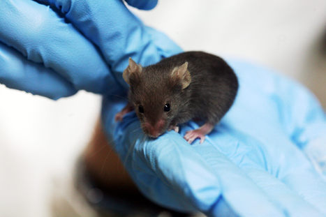 Stem cells repair and strengthen aging muscles in mice | Medical Science and Stem Cell Therapy Research | Scoop.it