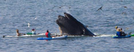 Des fientes de baleines contre le réchauffement climatique | Sustain Our Earth | Scoop.it