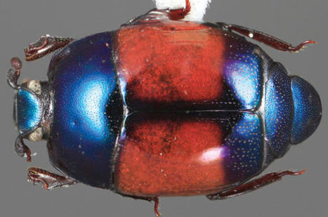 Entomologists Discover 85 New Species of Jewel-Like Baconia Beetles   Amazing Science   Scoop.it