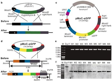 Development of a novel strategy for fungal transformation based on a mutant locus conferring carboxin-resistance in Magnaporthe oryzae   Rice Blast   Scoop.it