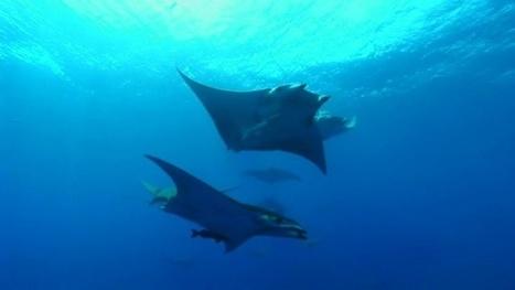 Vidéo Full HD | Açores - Plongée avec le Diable de mer ! | Plongeurs.TV | Scoop.it