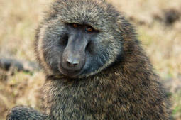 Stem cells found to heal damaged artery in lab study in baboons | Science technology and reaserch | Scoop.it