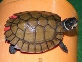 Seized Philippine Forest Turtles turned over to KatalaFoundation | Wildlife Trafficking: Who Does it? Allows it? | Scoop.it