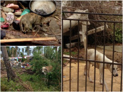 Church Of Malphas Collaborating With  Humane Society International (HSI) In Helping Animal Victims Of Typhoon Haiyan | Church Of Malphas | Scoop.it