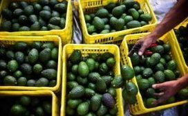Record prices for avocados spark strikes in Mexico and a crime wave in New Zealand | Markets and market failure | Scoop.it