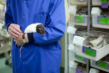 Animal experiments at Welsh universities increase by 83% over three years | Animals R Us | Scoop.it