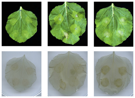 BBA: Biochemical characterization of the tomato phosphatidylinositol-specific phospholipase C (PI-PLC) family and its role in plant immunity (2016) | Publications from The Sainsbury Laboratory | Scoop.it