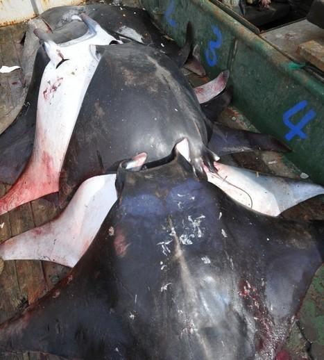 Chine : le massacre des mantas continue | Rays' world - Le monde des raies | Scoop.it
