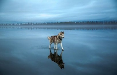 Stunning Photos of Siberian Huskies Wandering a Majestic Frozen Lake | Food for Pets | Scoop.it