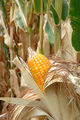 US: Researchers identify gene that allows corn to grow in poor conditions | Maize | Scoop.it