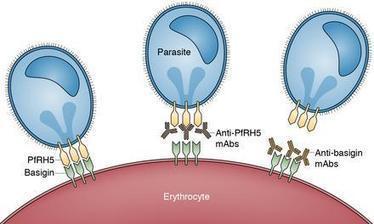 Self-targeting blocks malaria parasite invasion | Virology and Bioinformatics from Virology.ca | Scoop.it