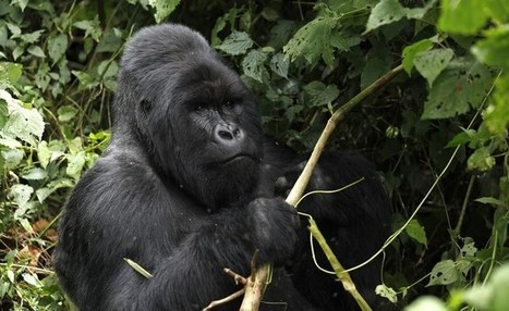 Genome sequencing reveals severe inbreeding of mountain gorillas | Amazing Science | Scoop.it