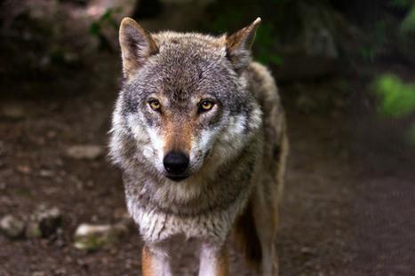 La protección de la fauna en España quiere permitir la caza del lobo | Enriquecimiento ambiental en animales en cautividad y mascotas. | Scoop.it