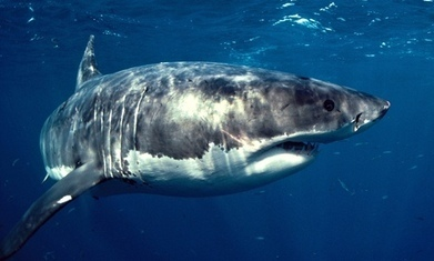 Western Australia's shark cull will hit breeding stock of great whites - The Guardian | Endangered species Australia | Scoop.it