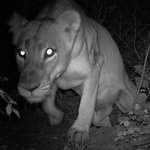 Suburban Lions Present a Conservation Conundrum in Africa | A mixed bag - wildlife, food, travel | Scoop.it