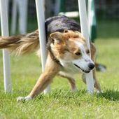20 Fun Pictures of Agility Course Dogs | Un peu de tout et de rien ... | Scoop.it