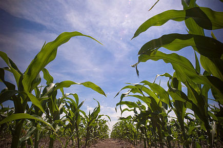 US corn's gravy train faces derailment | Sustain Our Earth | Scoop.it