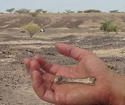 Discovery of 1.4 million-year-old fossil human hand bone closes human evolution gap | Sustain Our Earth | Scoop.it