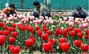 Flowers provide Excellent Employment Opportunities to many In ... | Floriculture in India | Scoop.it