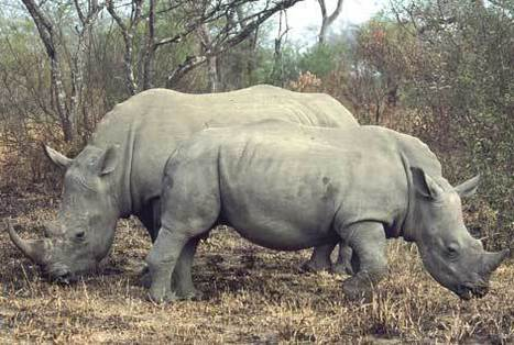 Appeals to Community Pays Off: Rhino Poachers Caught | What's Happening to Africa's Rhino? | Scoop.it