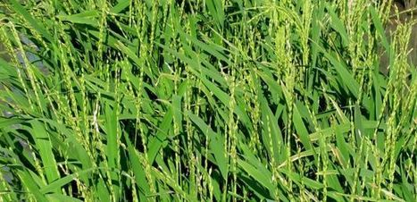 Generating a Genome to Feed the World: UA-Led Team Decodes African Rice | UANews | CALS in the News | Scoop.it