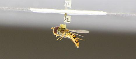 La stratégie de la mouche en chute libre au service du pilotage de drones autonomes   EntomoNews   Scoop.it