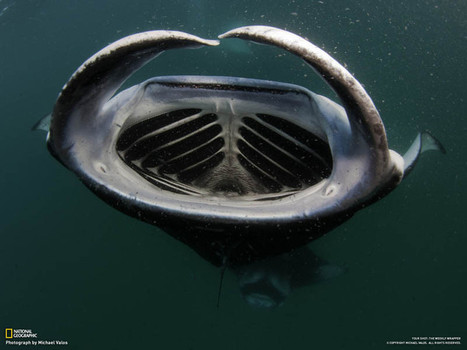 Picture of the Day: The Mouth of the Manta Ray | Sharks to protect | Scoop.it
